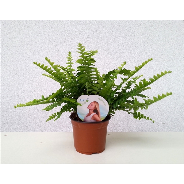 <h4>Nephrolepis Green Lady Air So Pure</h4>