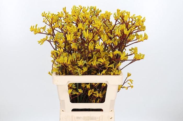 <h4>Anigozanthos Yellow Gem</h4>