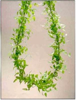 <h4>Asparagus Asparagoides/smilax</h4>