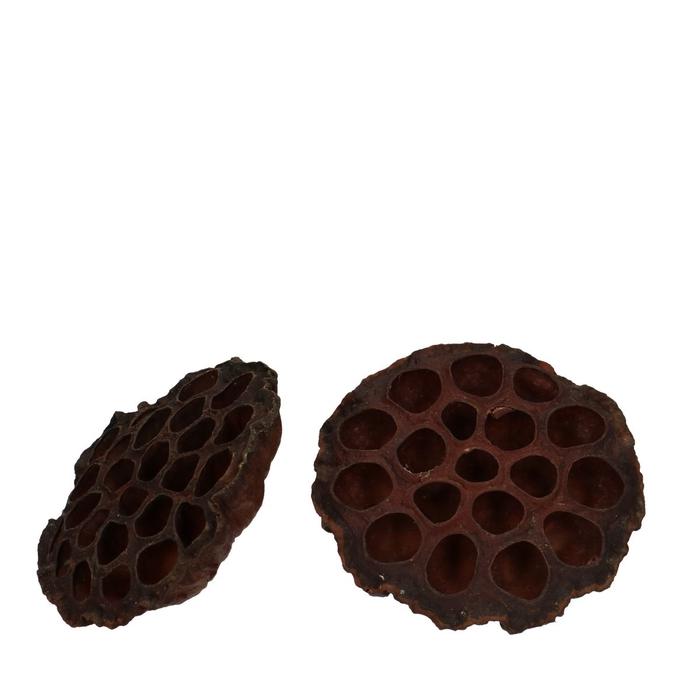 <h4>Droogvrucht Lotus d10/12cm x50</h4>