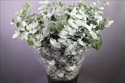 <h4>Eucalyptus Cinerea Albenga</h4>