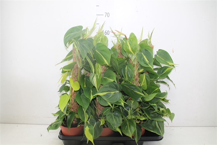 <h4>Philodendron Scandens Brasil Mosstok</h4>