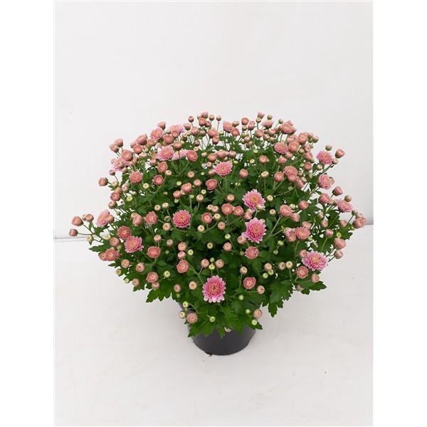 <h4>Chrysanthemum Bol Jasoda Dark Pink</h4>