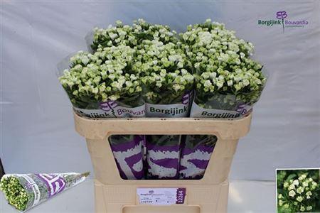 <h4>Bou En White Verde</h4>