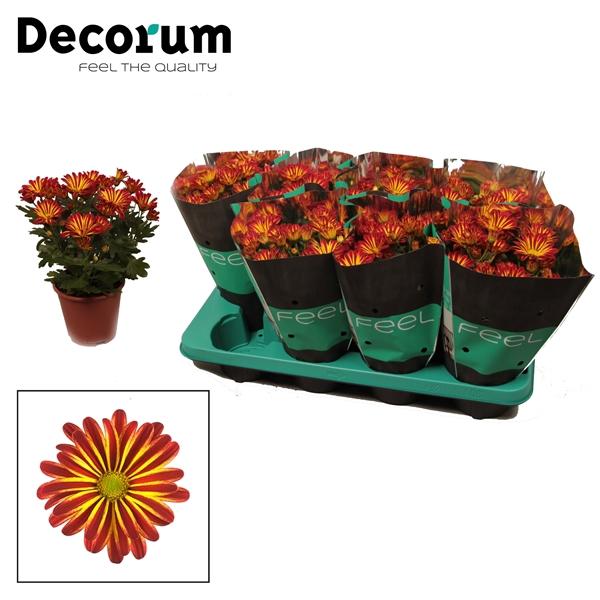<h4>Chrysanthemum Rainbow Circus</h4>