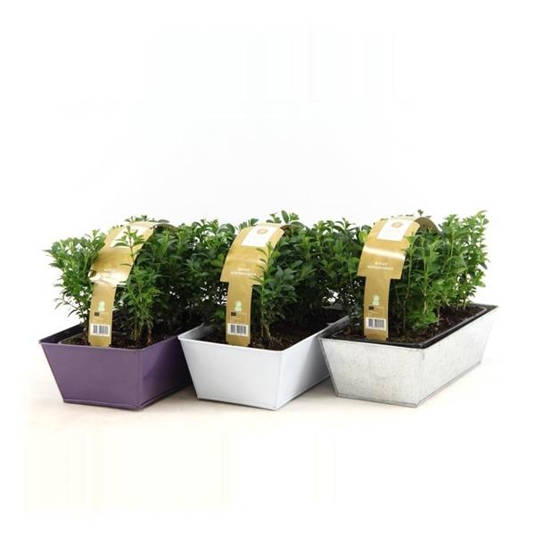 <h4>Buxus 6-pack in zinken bakje mix</h4>