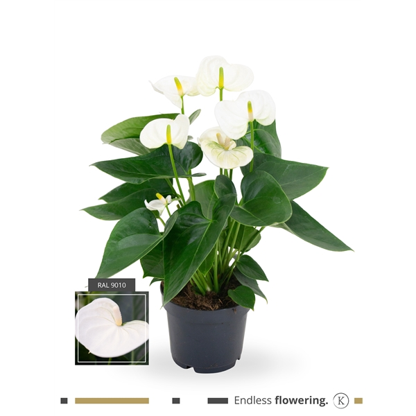 <h4>Anthurium Karma White</h4>