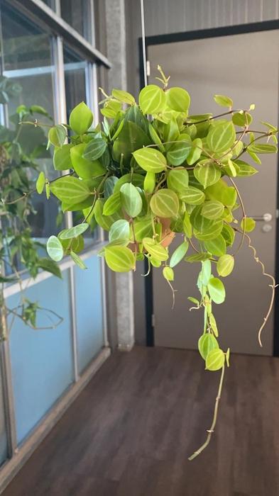 <h4>Dischidia arr. 8Ø 10cm Melon 1</h4>