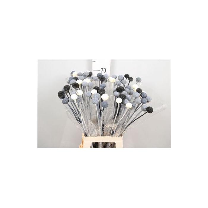 <h4>DRIED FLOWERS - CRASPEDIA METAL MIX 10PCS</h4>