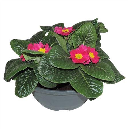 <h4>Primula Acaulis Roze Schaal</h4>