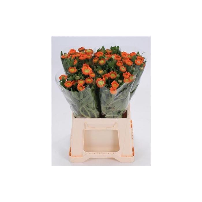 <h4>Calend Ov Oranje</h4>