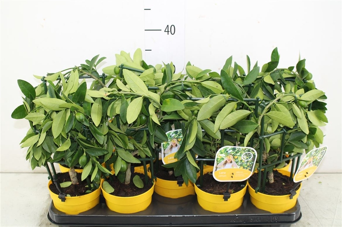 <h4>Citrus Limequat Op Rek</h4>