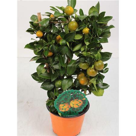 <h4>Citrus Citrofortunella Op Rek 10+ Vrucht</h4>
