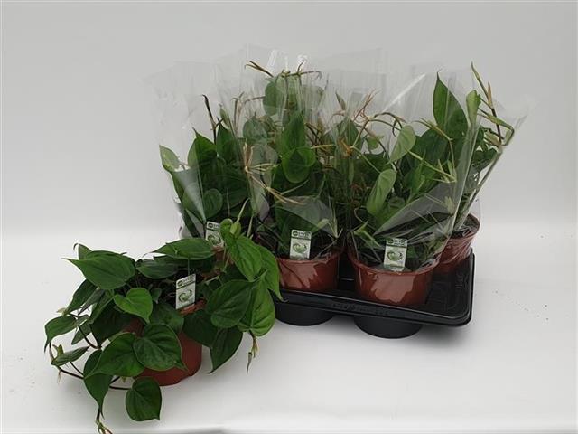 <h4>Philodendron Scandens 17Ø 35cm</h4>