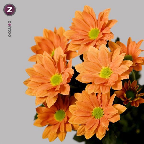 <h4>Chrys. tros Grand Orange</h4>