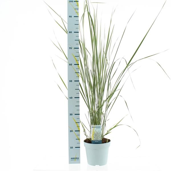 <h4>Calamagrostis accutiflora 'Overdam'</h4>