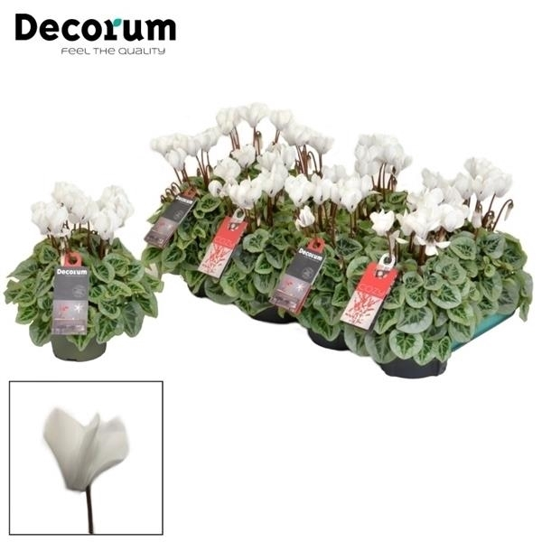<h4>Cyclamen SS Picasso White Decorum</h4>