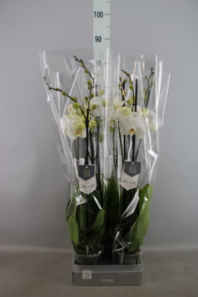 <h4>Phalaenopsis  'White World'</h4>