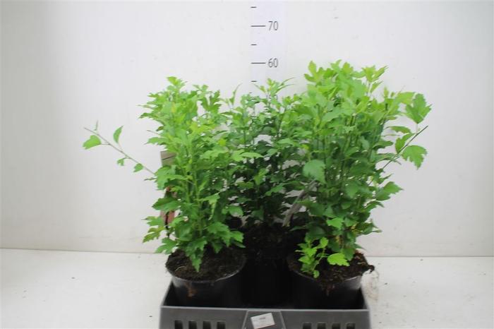 <h4>Hibiscus Syriacus Gemengd</h4>
