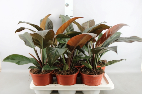 <h4>Philodendron  'Imperial Red'</h4>