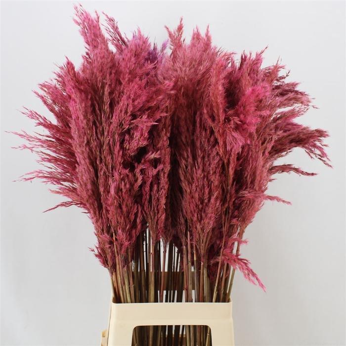 <h4>Pampas Dark Pink</h4>