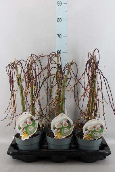 <h4>Salix caprea 'Kilmarnock'</h4>