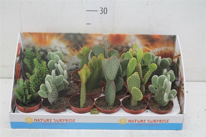 <h4>Opuntia Gemengd Showdoos</h4>
