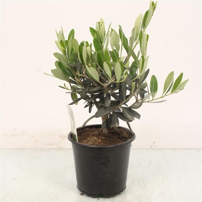 <h4>Olea Europaea Bush</h4>