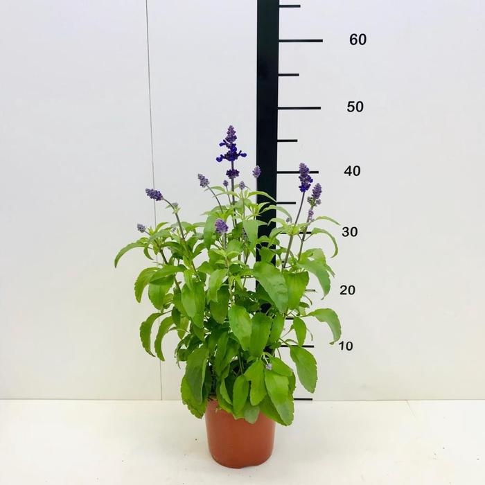 <h4>Salvia vista azul</h4>