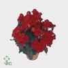 Begonia Du Baladin