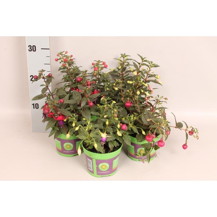 <h4>Fuchsia Bella Diverse</h4>