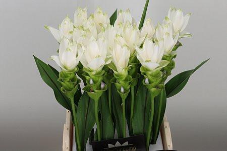 <h4>Curcuma White Siam Shine</h4>