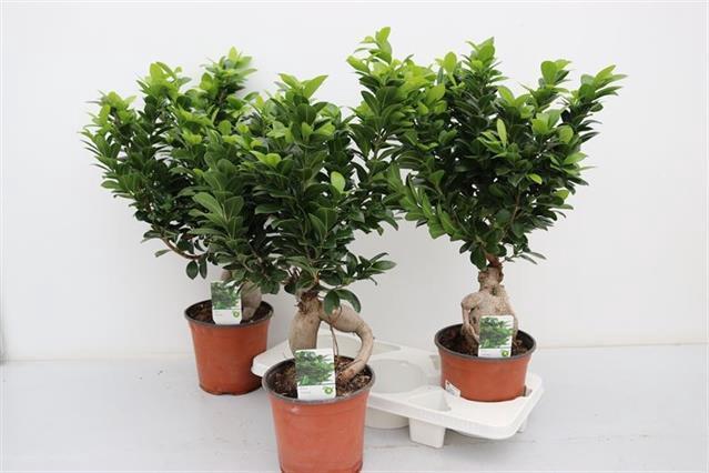 <h4>Ficus mi Ginseng 19Ø 60cm</h4>