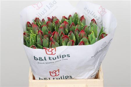 <h4>Tulp Pa Seadov Parrot</h4>