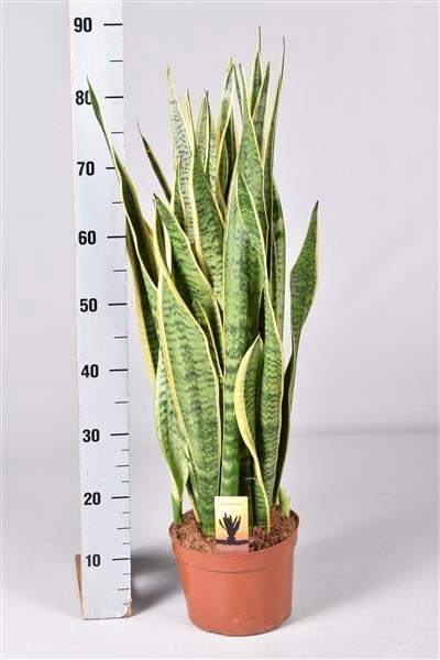 <h4>Sansevieria tri. Laurentii 21Ø 85cm</h4>