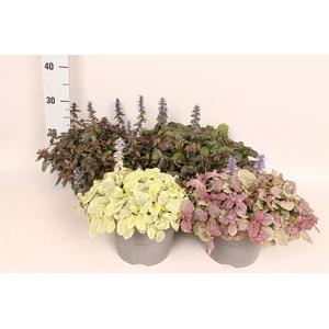 vaste planten 19 cm  Ajuga reptans Diverse