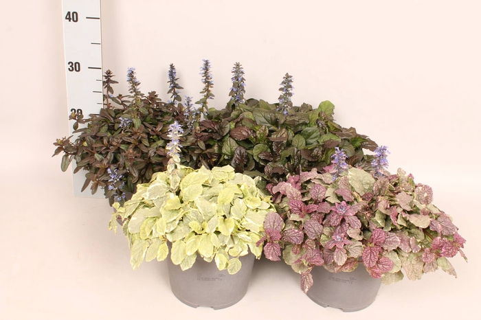 <h4>vaste planten 19 cm  Ajuga reptans Diverse</h4>