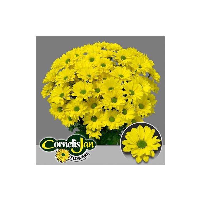 <h4>Chr T Yellow Strike</h4>