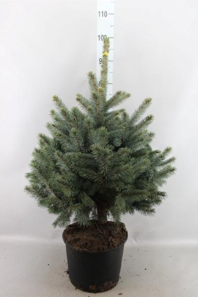<h4>Picea pungens 'Super Blue'</h4>