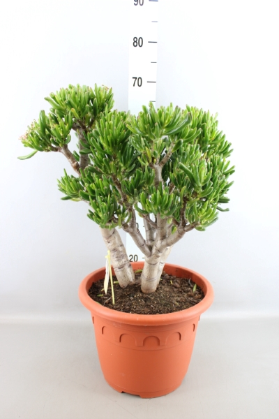 <h4>Crassula ovata 'Horn Tree'</h4>