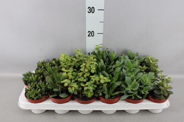 <h4>Crassula   ...mix</h4>