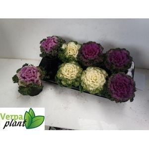 Brassica curly 13Ø 20cm