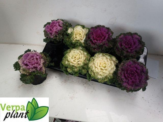 <h4>Brassica curly 13Ø 20cm</h4>