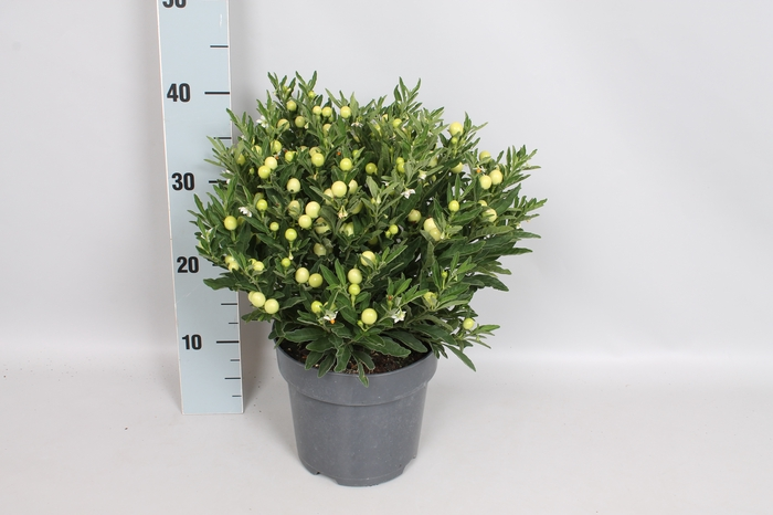 Perkplanten 19 cm Solanum Thurino Light