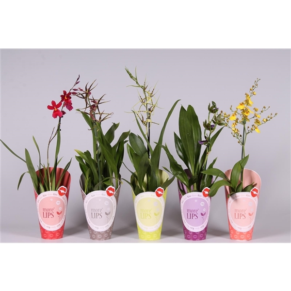 <h4>Orchideeën Mix 1br MoreLips potcover</h4>