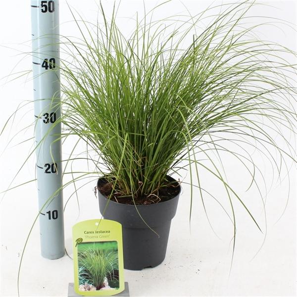 <h4>Carex testacea 'Phoenix Green'</h4>