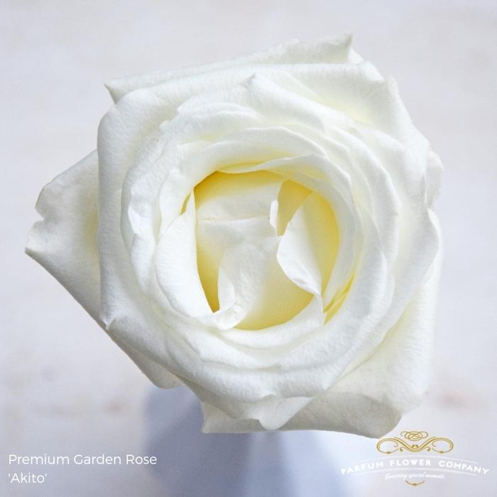<h4>Rosa grootbloemig Akito</h4>