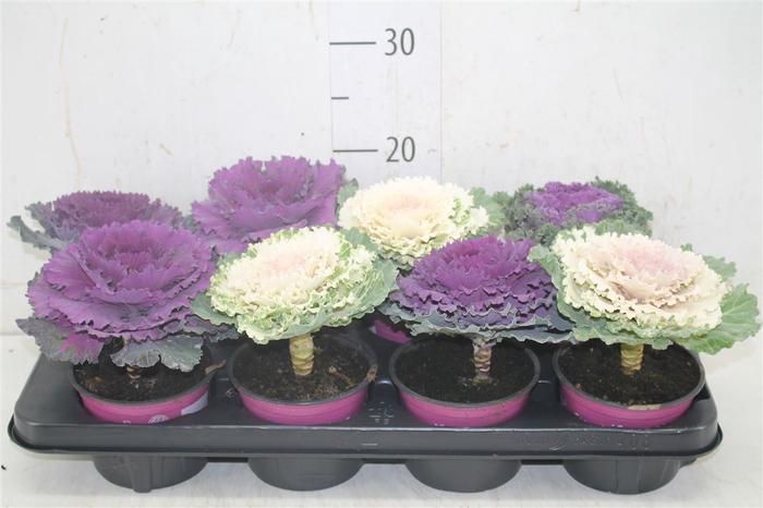 <h4>Brassica (sierkool) Glad Gemengd</h4>