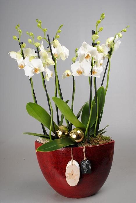 Arr.  Phalaenopsis H%