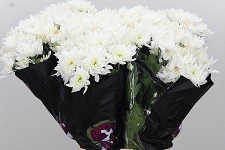 <h4>Chr T Pina Colada White</h4>